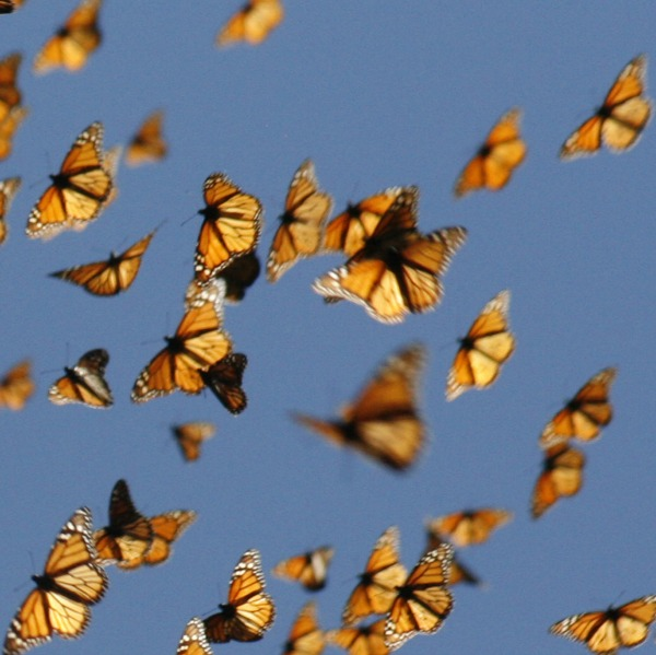 About 25 orange butterflies fluttering overhead against a blue sky.