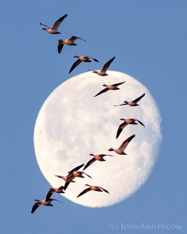 Migrating geese in front o the moon, caught on March 26 in Fairfield, Montana, by John Ashley.  Visit John Ashely Fine Art.