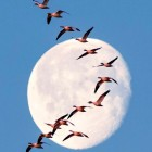 Snow Goose Moon-3-26-2016-john-ashley-MT-sq