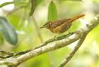 alagoas-foliage-glearner-bird