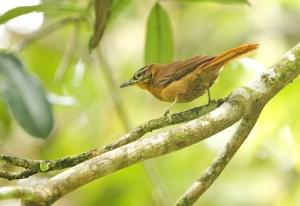 The last known Alagoas Foliage-gleaner photographed in Pernambuco, Brazil in November 2010. Photo credit: Ciro Albano/NE Brazil Birding