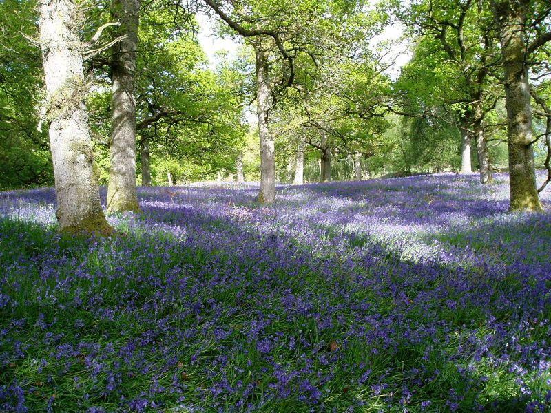 Blanket of blue flowers in partly sunny woodland, large trees in background.