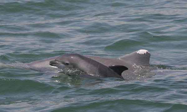 Bottlenose dolphins have been dying in record numbers in their mothers' womb or shortly after birth in areas affected by the 2010 Deepwater Horizon oil spill in the Gulf of Mexico. Photo credit: NOAA