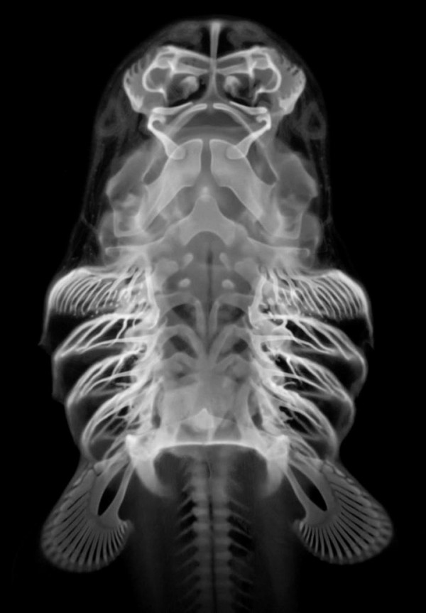Skeleton of an embryonic bamboo shark, viewed from the underside. Gill arch appendages extend from each side of the head. Directly below them are a pair of fins. Image credit: Andrew Gillis.