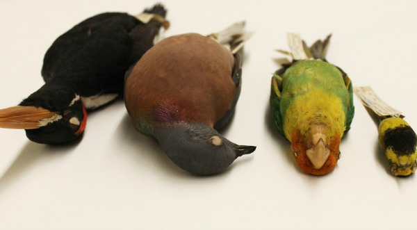 Species lost from the eastern forests of the U.S. – from left to right: Ivory-billed Woodpecker, Passenger Pigeon, Carolina Parakeet and Bachman's Warbler.  Image credit: Alexander C. Lees ©Cornell University Museum of Vertebrates,