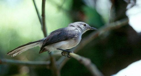 The Iquitos Gnatcatcher hangs by a thread in small patches of stunted forest near Iquitos, Peru.  Only six pairs are known. Image credit: José Álvarez Alonso, used with permission