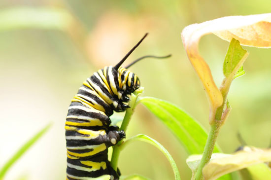 Monarch caterpillar feeding on a milkweed plant. Image Credit: Shireen Gonzaga.