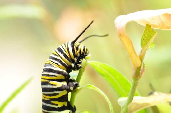 Monarch caterpillar feeding on a milkweed plant. Image Credit: Shireen Gonzaga.