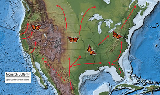 Spring and summer migration patterns of the western and eastern monarch butterfly populations. Image Credit: U.S. Geological Survey.