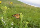 monarch-usfws-300