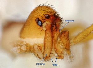 The face of a trap-jaw spider species, a male Chilarchaea quellon. The long chelicerae, or highly maneuverable mouth parts, evolved to rapidly snap prey like a mousetrap. Image credit: Hannah Wood, Smithsonian.