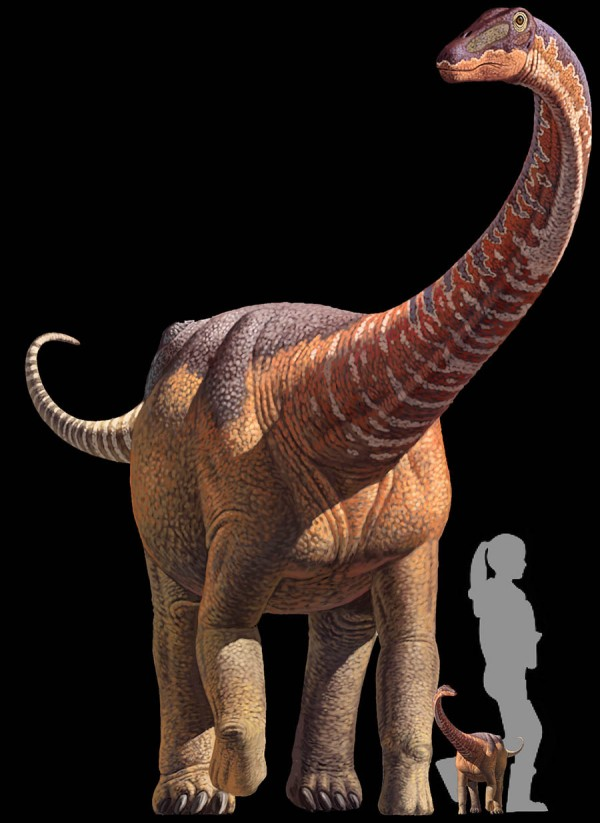 Size comparison of an adult Rapetosaurus, a baby Rapetosaurus and a human. Image Credit: Kristi Curry Rogers