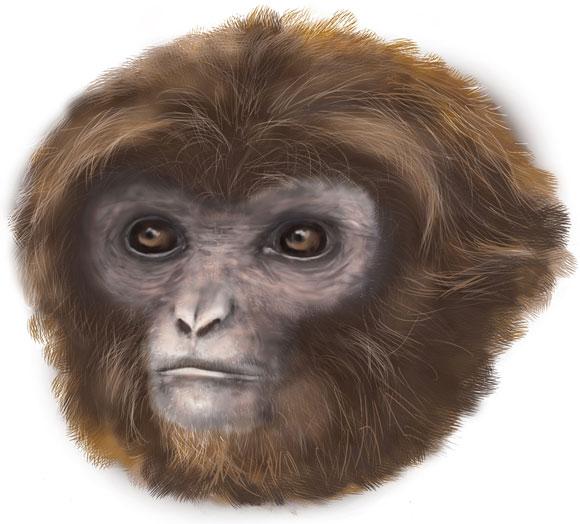 Primate (Pliobates cataloniae). Image Credit: Marta Palmero, Institut Catalá de Paleontologia Miquel Crusafont (ICP).