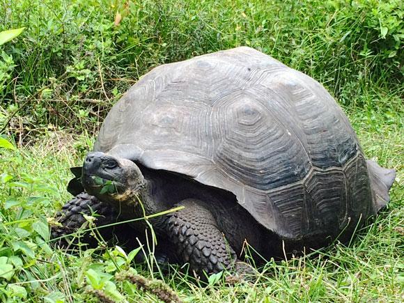 Giant Tortoise (Chelonoidis donfaustol). Image Credit: Adalgisa Caccone