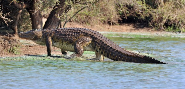 Nile crocodile. Image via Paradoxoff Planet