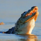 Nile crocodile. Nile crocodiles, Crocodylus niloticus, were responsible for at least 480 attacks on people and 123 fatalities in Africa between 2010 and 2014. Image © mariswanepoel / Fotolia