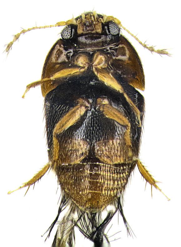 Tiny Beetle (Phytotelmatrichis osopaddington). Image Credit: Michael Darby.