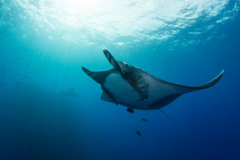 A giant manta ray at Revillagigedo Archipelago, about 300 miles off Baja California, Mexico. Image credit: Scripps Oceanography/Octavio Aburto.