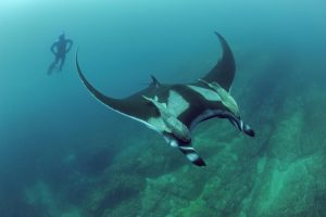 Lead study author Josh Stewart follows a giant oceanic manta ray at Bahia de Banderas off mainland Pacific Mexico. Image credit: Scripps Oceanography/Octavio Aburto.