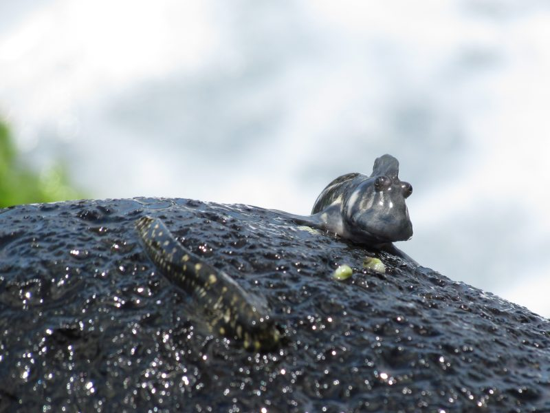 A couple of Indian Ocean rockskippers (Alticus monochrus) on a rock, at Mauritius. Image credit: Georgina M. Cooke.