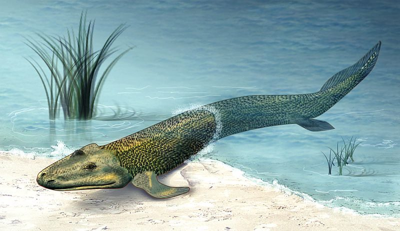 Artist's depiction of Tiktaalik, a now-extinct lobe-finned fish that's thought to be an ancestor of tetrapods that went on to colonize land. Image credit: Zina Deretsky, National Science Foundation.