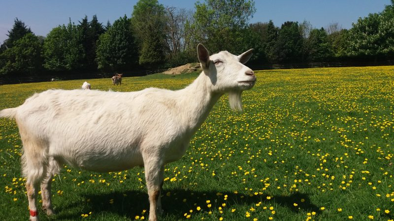 A goat at Buttercups Sanctuary for Goats in Kent, UK. Researchers from Queen Mary University of London (QMUL) have found goats have the capacity to communicate with people like other domesticated animals, such as dogs and horses. Image via AlphaGalileo.