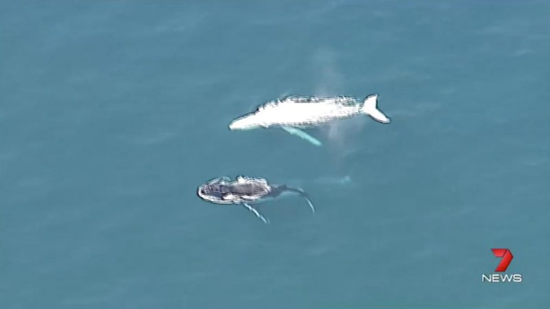 Rare white whale - believed to be the whale known as Migaloo - making its way northward along the Australian coast on July 26, 2016. Video still via @7NewsQueensland on Twitter.