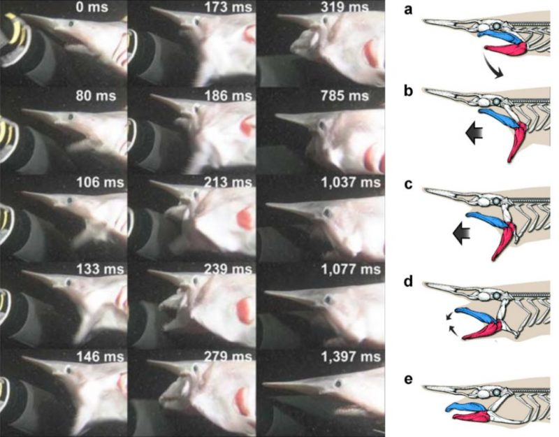 A photo montage of 15 still frames, from video taken in 2008, shows a juvenile goblin shark grabbing the arm of a diver. These images span a 1.397 seconds interval. The jaw movement itself, depicted in the illustrations labeled a to e, occurred within 0.3 seconds. Photo stills courtesy of NHK; illustrations courtesy of Hokkaido University.