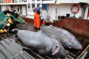 Greenland sharks are sometimes found in commercial fishing bycatch. Image courtesy of Julius Nielsen, University of Copenhagen.