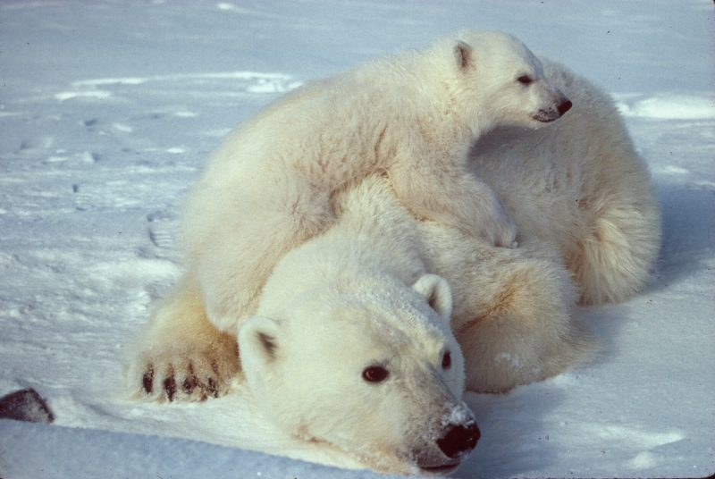 Mother with her cub. Image via Scott Schliebe / US Fish and Wildlife Service.