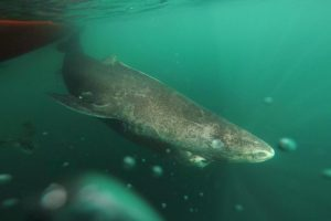 A Greenland shark in the Uummannaq Fjord in northwestern Greenland. This individual was part of a tag-and-release program in Norway and Greenland. Image courtesy of Julius Nielsen, University of Copenhagen.