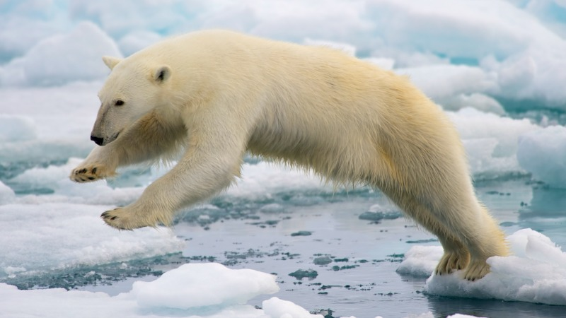 Polar bear in Svalbard, Norway. Image via Arturo de Frias Marques