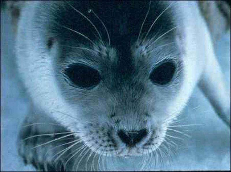 Ringed seal, polar bears' main prey. Image via NOAA.