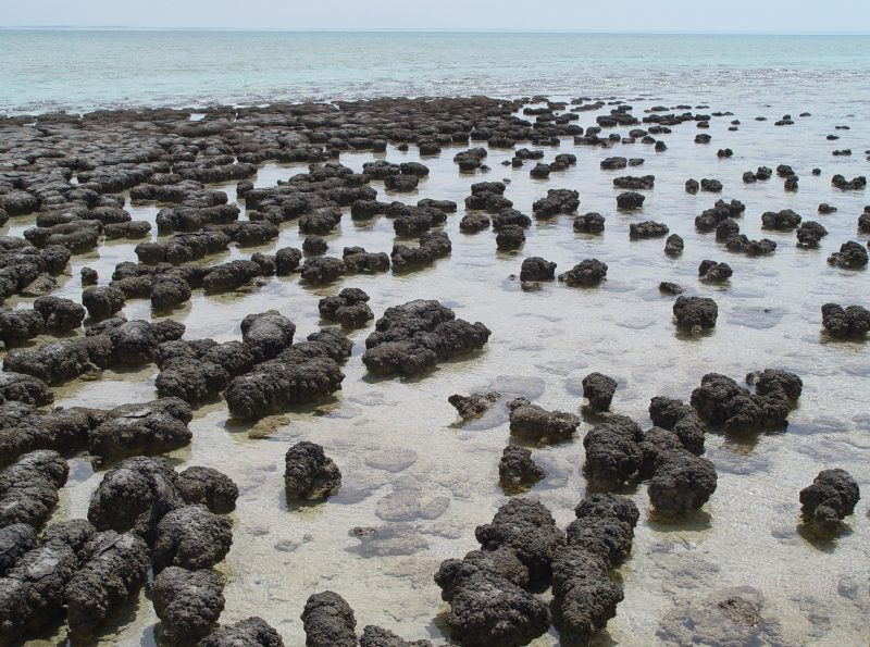 Modern-day stromatolites in Shark Bay, Australia. Image courtesy Paul Harrison via Wikimedia Commons.