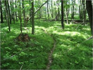 Grasses carpet the understory of a forest with large populations of European earthworms. Image courtesy of Scott L Loss.