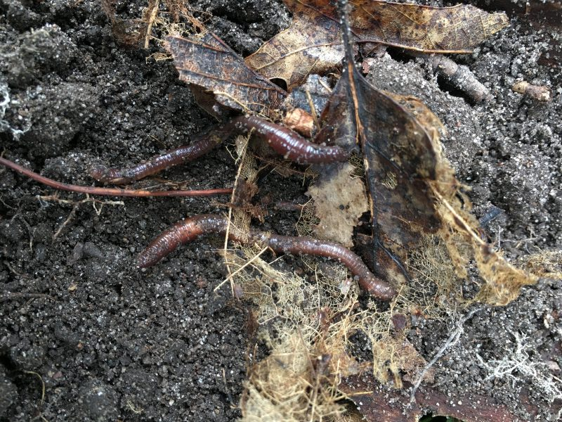 Earthworms munching on forest leaf litter. Image courtesy of Olga Ferlian.