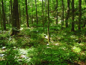 A forest understory with a high diversity of native plants, the result when there are no earthworms in the soil. Image courtesy of Paul Ojanen.