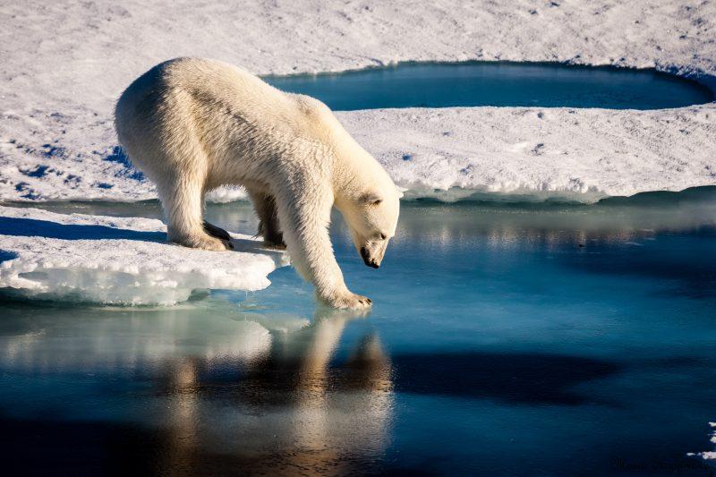 A polar bear tests the strength of thin sea ice. Image via Mario Hoppmann/imaggeo.egu.eu