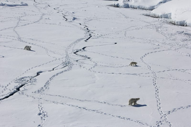 Three adult polar bears travel across sea ice in southeast Greenland. Image via Kristin Laidre/University of Washington