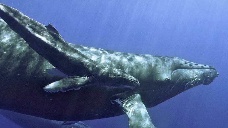 Humpback whale, via NOAA