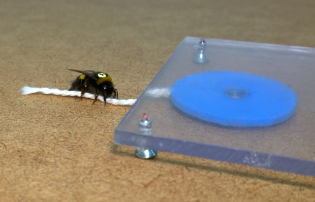 A blue artificial flower contains sucrose solution in a well in the centre. The flower is placed under a clear Plexiglas table, so the bumblebee (Bombus terrestris) can see the flower, but cannot reach the well with the reward, since the gap between the Plexiglas table and the floor is too small. Hence the bumblebee's only option is to pull the string, until the central well is openly accessible. Here the bumblebee has placed its left front foot on the string to pull it. Image via Sylvain Alem
