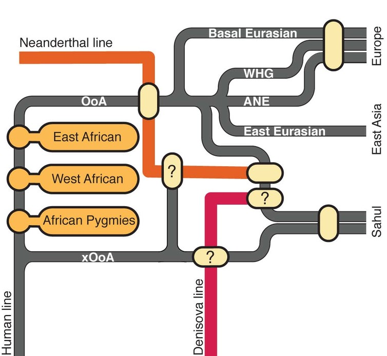 A graphic representation of the interaction between modern and archaic human lines, showing traces of an early out of Africa (xOoA) expansion within the genome of modern Sahul populations. Image via Dr. Mait Metspalu, Estonian Biocentre.