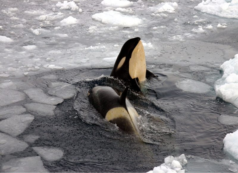 Orcas near Ross Island in the Ross Sea. Photo by Joe Stanford, National Science Foundation, via NOAA.