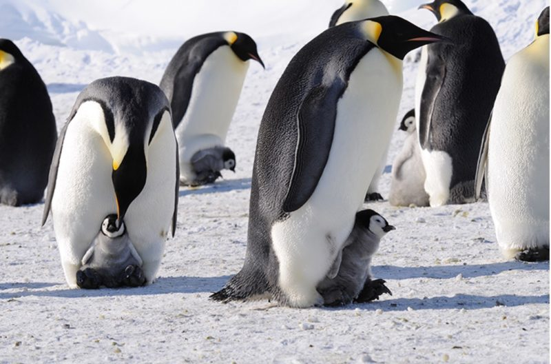 Emperor penguins and their chicks on Ross Island, in the Ross Sea, Antarctica. Photo by Paul Ponganis, National Science Foundation, via NOAA.