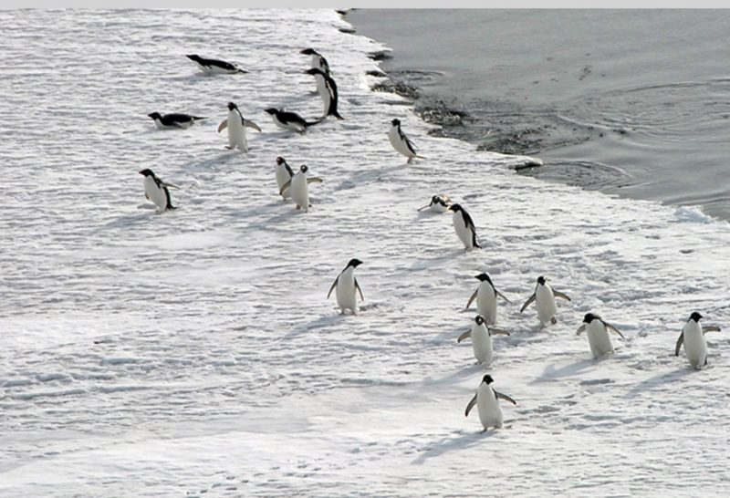 Penguins jumps onto an ice shelf after their feeding swim. Photo by Robin Waserman, National Science Foundation, via NOAA.