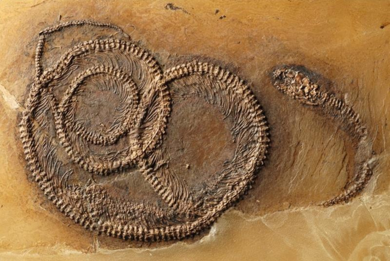A rare fossil find from Messel Pit in Germany. See the annotated image below. Image via Springer Heidelberg/ Alpha Galileo.