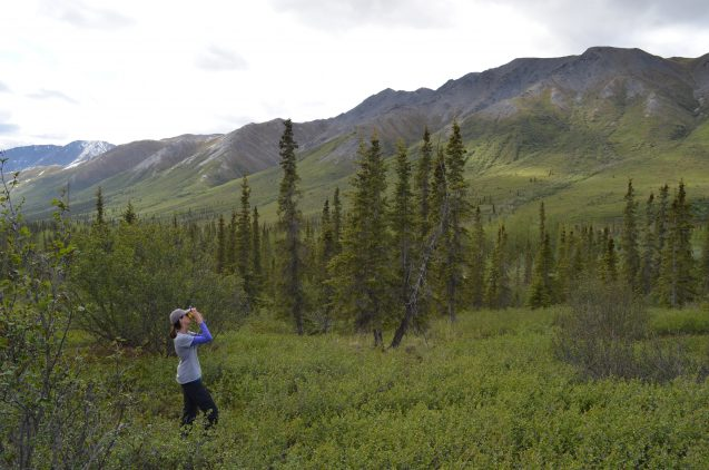 Natalie Boelman, an ecologist at Columbia University's Lamont-Doherty Earth Observatory, measures the height of trees at one study plot. Image via