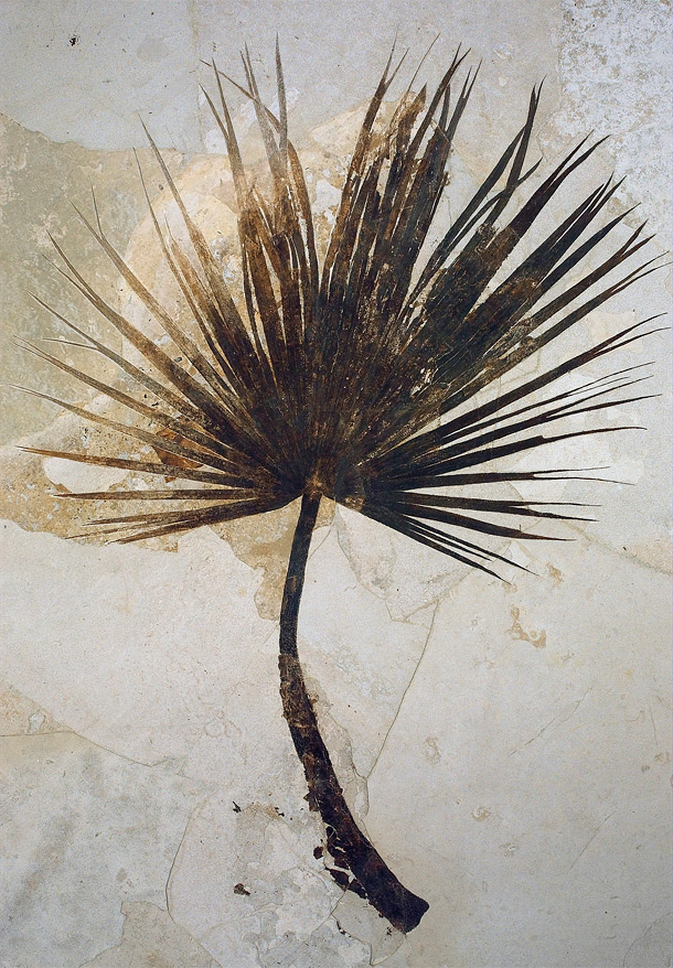 Around the time of the Paleocene-Eocene Thermal Maximum, much of the continental United States had a sub-tropical environment. This fossil palm is from Fossil Butte National Monument, Wyoming. Image via U.S. National Park Service.
