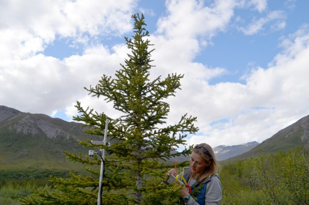 On her first trip to the north, Lamont-Doherty graduate student Johanna Jensen takes down data on a wired-up spruce. The study will provide not only long-term information on climate change, but opportunities for young scientists to work directly in the field. Image via