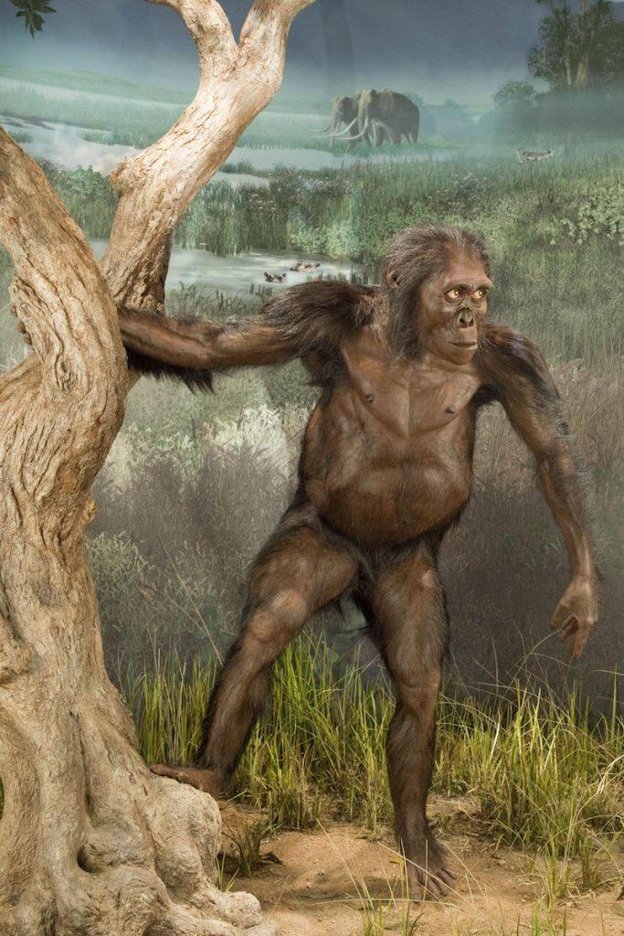 Adult female Australopithecus afarensis,